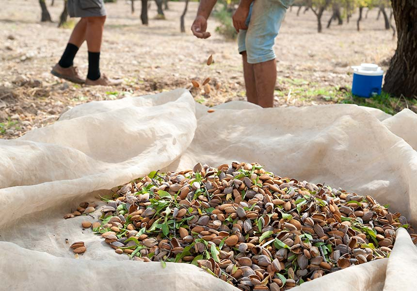 Almond harvest on noto