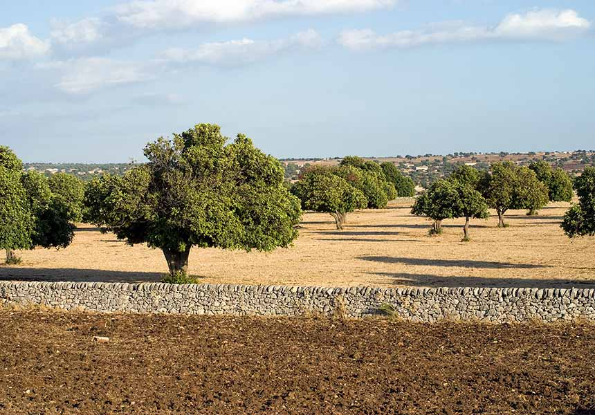 Lemon trees on Modica