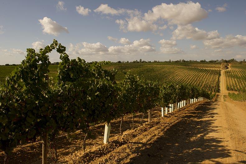 pisciotto-vinyards2